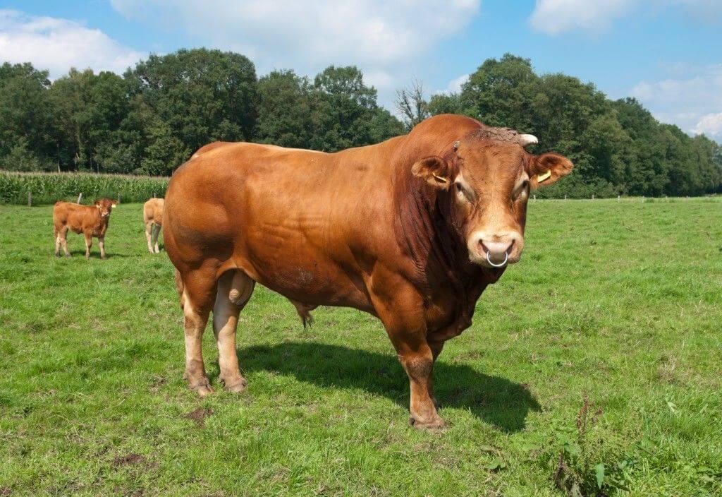 Как выбрать хорошую корову при покупке: народные приметы, полезные советы, видео