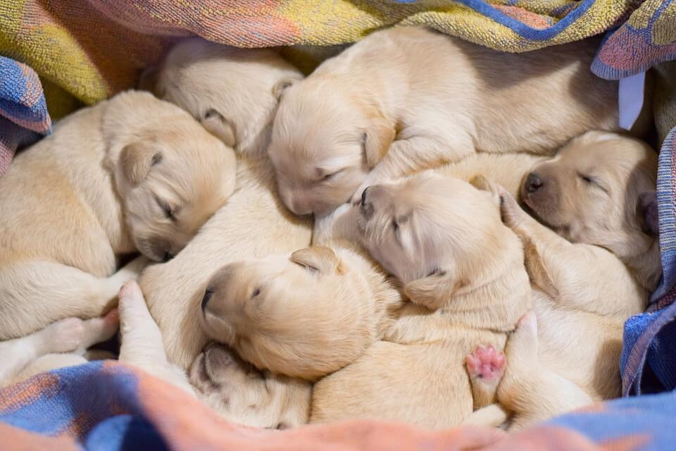 бизнес на разведении породистых собак