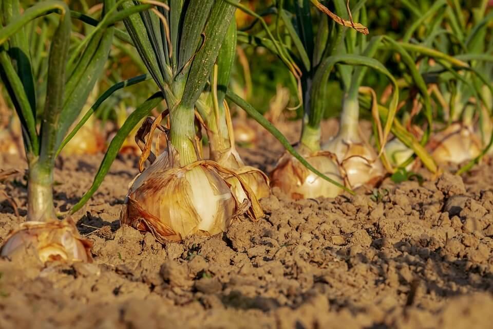 Бизнес на выращивании лука