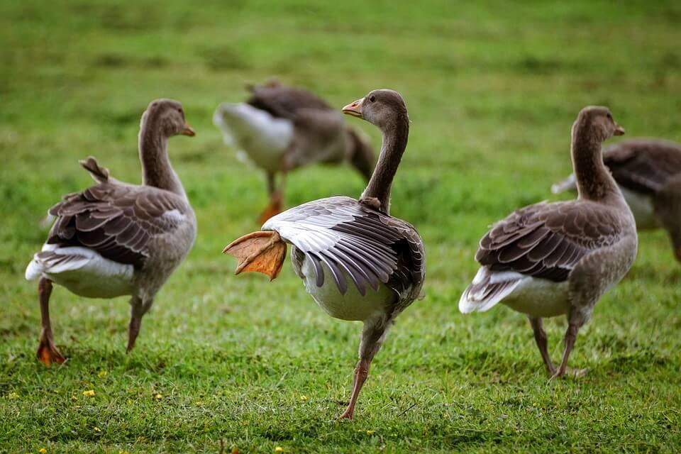 Бизнес на разведении гусей
