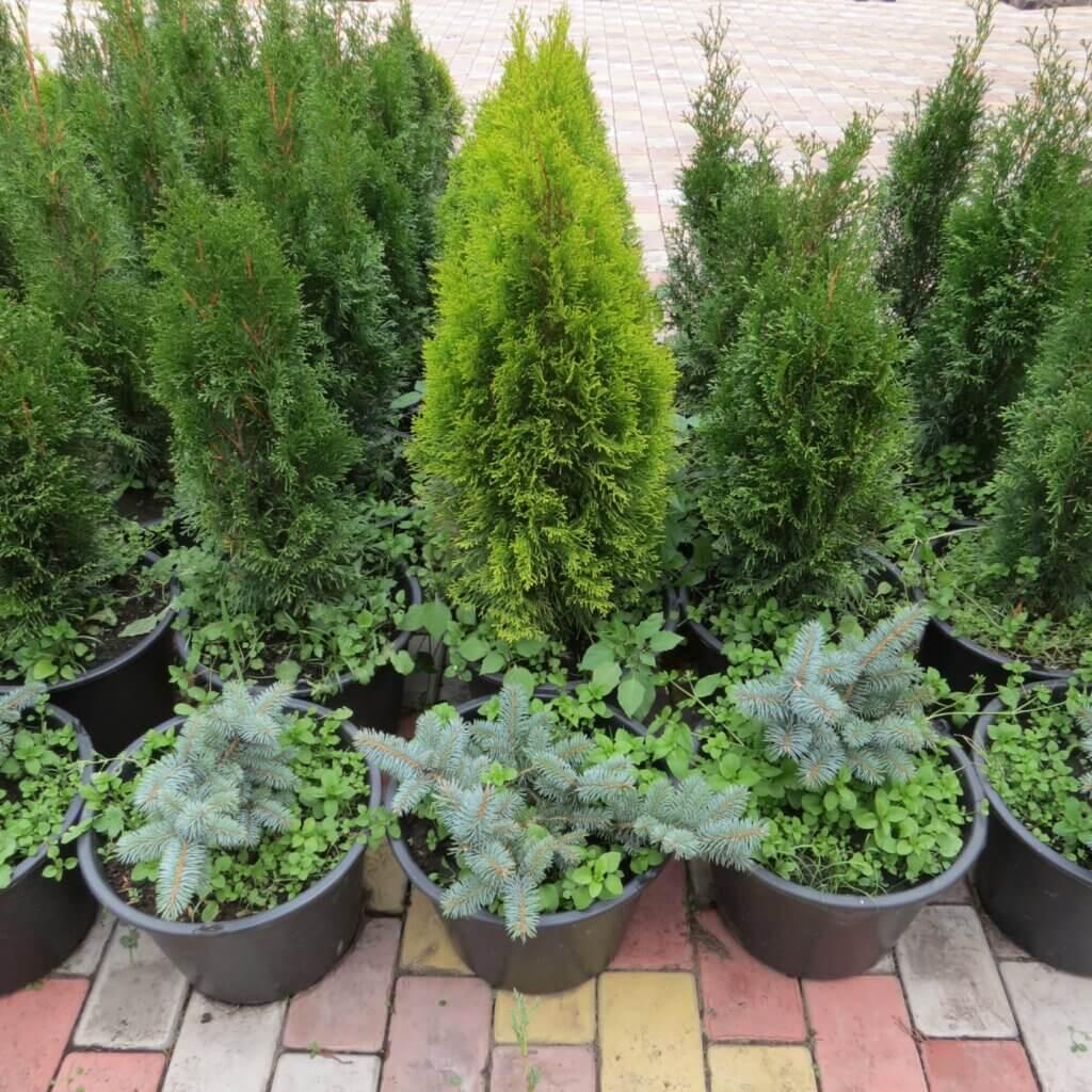 бизнес план питомника хвойных растений
