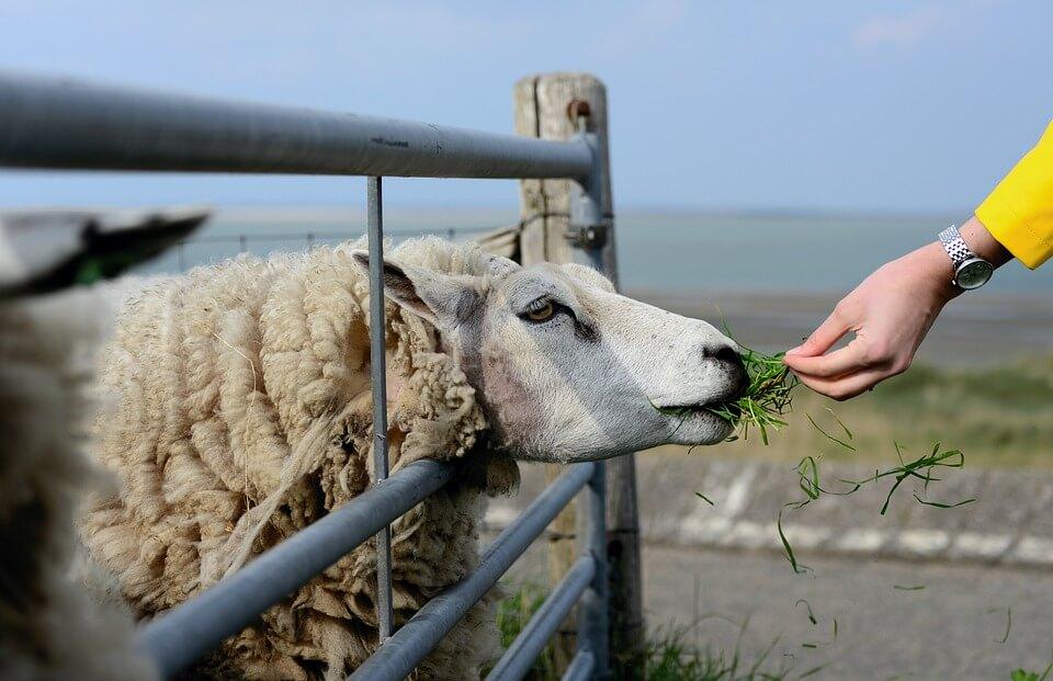 бизнес на овцеводстве